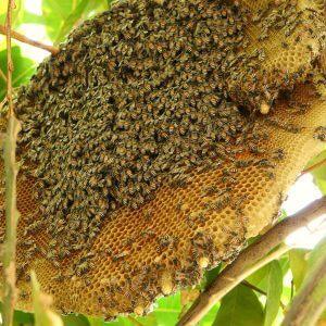 mat ong nguyen chat